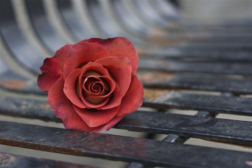 autumn_rose_by_gilraen_taralom-d3ahdon